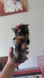 York share terrier miniatura fêmea