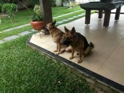 Cães pastores alemães