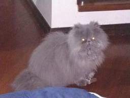 Gato persa blue