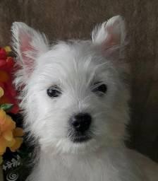 /// Fêmea Castrada /// West Terrier /// 4 meses ///