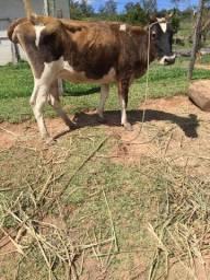 Vaca dando leite