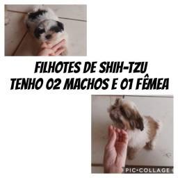 Filhote shih -tsu