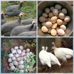 Vendo Ovos de Angola