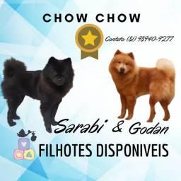Filhotes de chow chow 1.500