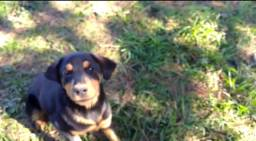 Fêmea de Rottweiler 8 meses