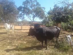 2 vacas cruzadas e uma bezerra