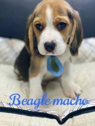 Beagle lindo filhote