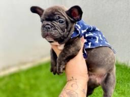 Lindo Bulldog francês macho Perfeitos Com Pedigree