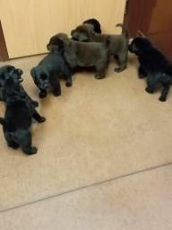Labrador filhotes legítimos