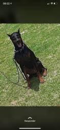 Vendo filhote de cachorro doberman pedigree * zap somente venda