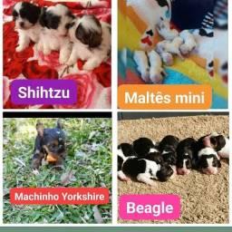 Canil casa dos cães disponibiliza lindos filhotes
