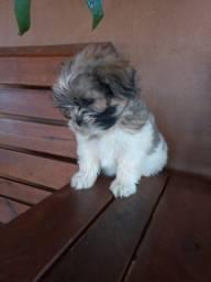 Cachorro lhasa puro