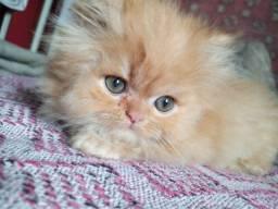 Gatinho persa macho.