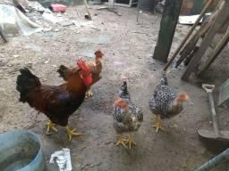 Vendo um  galo e três galinha tem que vim pegar