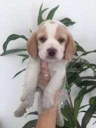 Beagle bicolor/ tricolor/ todos a pronta entrega- (11)95932-0322