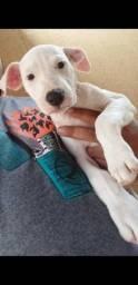Pitbull fêmea 300$ vacinada e vermifugada