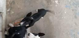 Fêmea Bull terrier