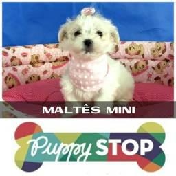 Belíssima Filhotinha de Maltês Mini Fêmea c/ Microchipe - Parcelado 12X
