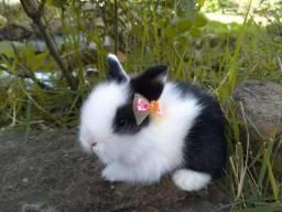 Mini Coelhos - Várias Raças - Lindos