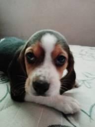 Filhotes de beagle, labrador e golden