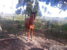 Cavalo muito bom ligeiro é de calvogar gado e de carroça