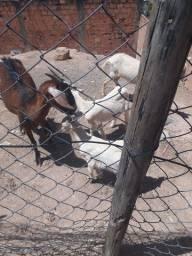 Cabra com 2 filhotes