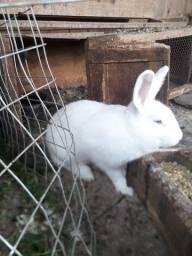 Coelha grande