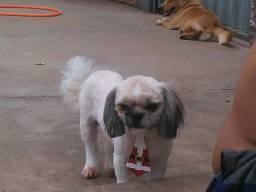 Cachorro shitszu furtado dia de dezembro sumiu e escapou sabe de algo sobre