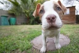 doando filhote de pitbull