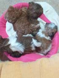 Cachorrinhos shih tzu novos com vermifugação e 1 mês e 30 dias