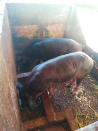 Cachaço novo e porca prenha