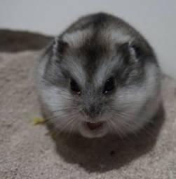 Vende-se hamster