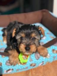 Lindo filhote de yorkshire terrier !