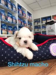 Lindissimos filhotes de Shihtzu na MK DR PET