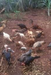 Vende - se galinhas caipiras