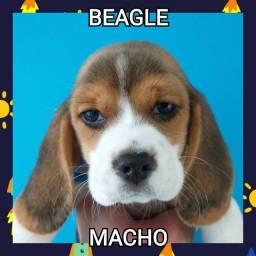 Fabulosos Beagle machos! Venha conferir!