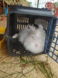 Mini coelho angorá fêmea-adulto.