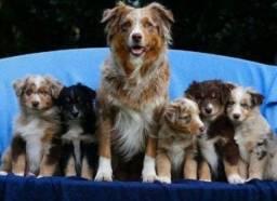 Border Collie filhotes c pedigree e garantias, levamos até vc, pgto na entrega!