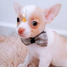 Chihuahua filhotes c pedigree e garantias, levamos até vc, pgto na entrega!