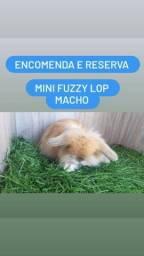 Mini Coelho Raças Variadas Filhotes
