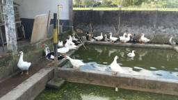 Patos, gansos e marrecos