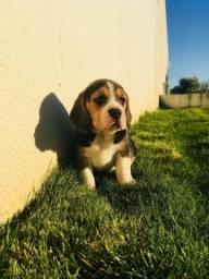 Beagle mini 13 polegadas, machos e femeas em loja (11)2369-3829  * Venâncio