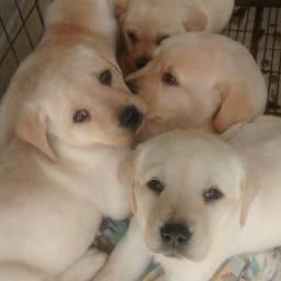 Labradores amarelos á pronta entrega, e com pedigree (opcional)