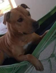Pitbull fêmea, 1 ano e 6 meses