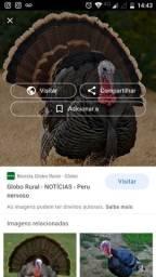 Peru adulto reprodutor