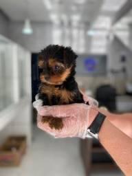 Yorkshire Terrier - Filhotes de Yorkshire com Garantia Total de Saúde