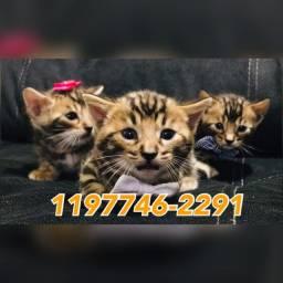Filhotes lindos e fofos de Gato Bengal a pronta entrega só aqui