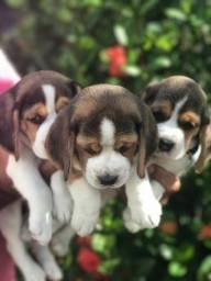 Beagle 13 polegadas com pedigree  disponíveis para venda .