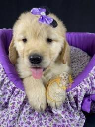 Maravilhosos filhotes de Golden Retriever