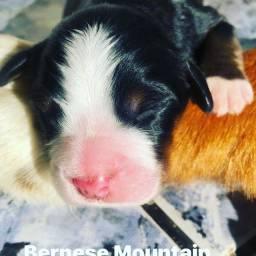 Filhotes de Bernese Mountain Dog